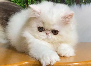 cuccioli-persiano